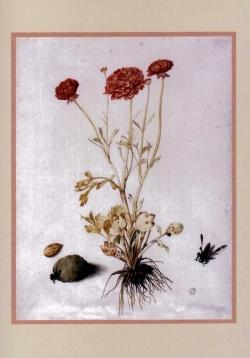 Giovanna Garzoni - Ranunculus Card - Pack of 6
